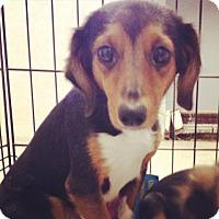 Adopt A Pet :: Dachund lady - Pompton Lakes, NJ