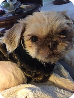 Shih Tzu Mix Dog for adoption in Glastonbury, Connecticut - Bella-adopted