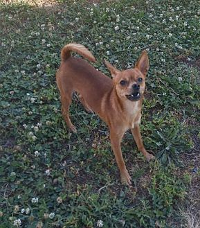 Chihuahua Mix Dog for adoption in Godfrey, Illinois - Fernando