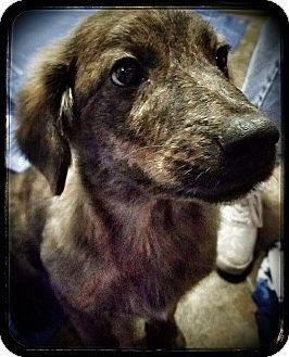Labrador Retriever Mix Puppy for adoption in Lima, Pennsylvania - Britt