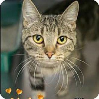 Domestic Shorthair Cat for adoption in Davenport, Iowa - Nala