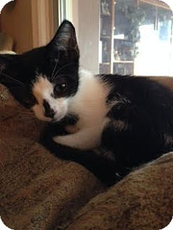 Domestic Shorthair Kitten for adoption in Orlando, Florida - Maggie