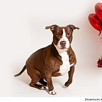 Pit Bull Terrier Mix Dog for adoption in Reno, Nevada - DOMINION