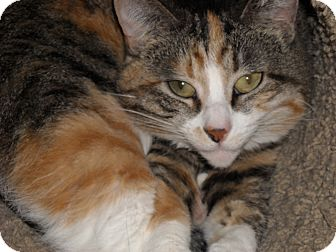 Calico Cat for adoption in Roseville, Minnesota - Snickers