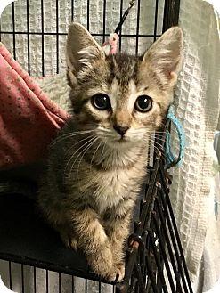 Domestic Shorthair Kitten for adoption in East Brunswick, New Jersey - Boca ADOPTION PENDING
