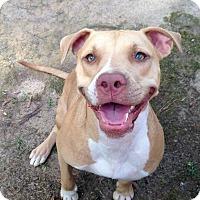 Adopt A Pet :: Harley - Lawrenceville, GA