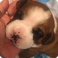 Adopt A Pet :: On Hold - Bravo - Waterford, MI