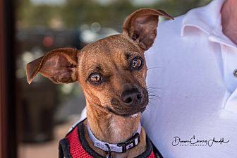 Miniature Pinscher/Chihuahua Mix Dog for adoption in San Marcos, California - Shadow