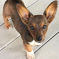 Adopt A Pet :: Bambi - Huntsville, AL