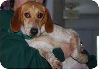 Beagle Dog for adoption in Waldorf, Maryland - Charlotte Bronte
