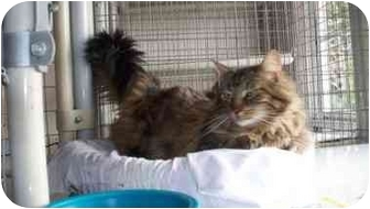 Domestic Longhair Cat for adoption in west covina, California - Romi