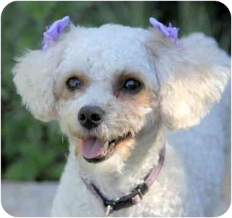 Poodle (Toy or Tea Cup) Mix Dog for adoption in Newport Beach, California - MOLLY