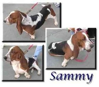 Basset Hound Dog for adoption in Marietta, Georgia - Sammy
