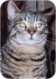 Domestic Shorthair Cat for adoption in Owatonna, Minnesota - Tommy