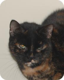 Domestic Shorthair Cat for adoption in Brooklyn, New York - Jia-Jia