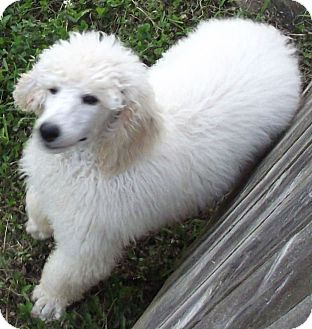 Standard Poodle Puppy for adoption in moscow mills, Missouri - Alfy ADOPTED!