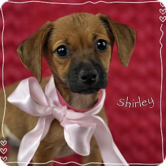Boxer Mix Puppy for adoption in Corpus Christi, Texas - Shirley