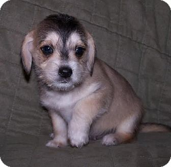 Jack Russell Terrier/Beagle Mix Puppy for adoption in La Habra Heights, California - Rocky