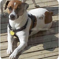 Adopt A Pet :: Maxwell Smart - Albany, NY