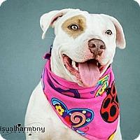 Adopt A Pet :: IVORY - Phoenix, AZ