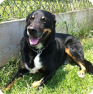 Shepherd (Unknown Type)/Collie Mix Dog for adoption in Port Hope, Ontario - Remy