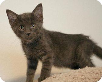 Domestic Shorthair Kitten for adoption in Sacramento, California - Willow