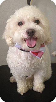 Poodle (Miniature) Dog for adoption in South Gate, California - Oscar