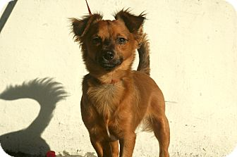 Spaniel (Unknown Type)/Dachshund Mix Dog for adoption in Encino, California - Ace