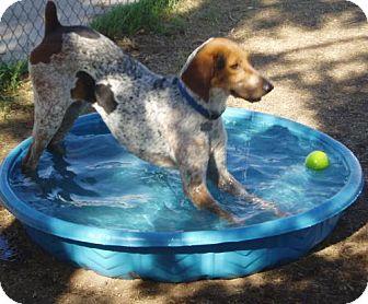 Bluetick Coonhound Mix Dog for adoption in El Cajon, California - Stella