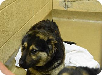 German Shepherd Dog/Husky Mix Puppy for adoption in Lima, Pennsylvania - Aztec