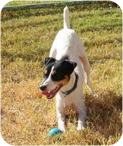 Jack Russell Terrier Dog for adoption in Phoenix, Arizona - JOKER