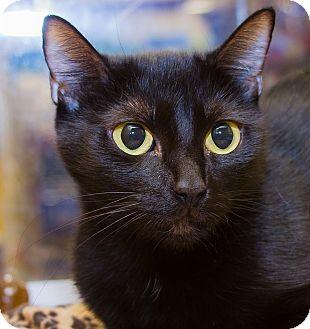 Domestic Shorthair Cat for adoption in Irvine, California - Onyx