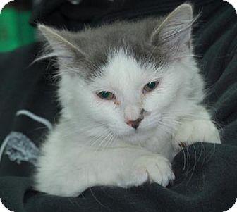 Domestic Shorthair Kitten for adoption in Brooklyn, New York - Cashew