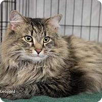 Adopt A Pet :: Leopold - Merrifield, VA