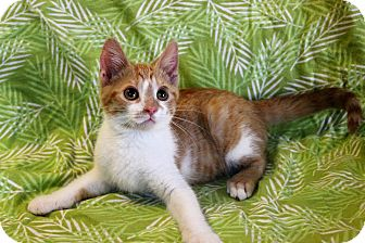 Domestic Shorthair Kitten for adoption in Greensboro, North Carolina - Jasper