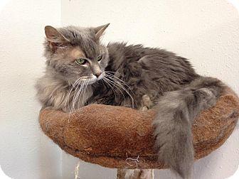 Domestic Longhair Cat for adoption in Colorado Springs, Colorado - Tiana