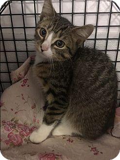 Domestic Shorthair Kitten for adoption in Forest Hills, New York - Snapple