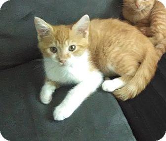 Domestic Shorthair Kitten for adoption in Millersville, Maryland - Jangle