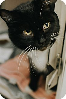 Domestic Shorthair Cat for adoption in Indianapolis, Indiana - Honalulu
