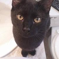 Adopt A Pet :: Shadow - Lorain, OH