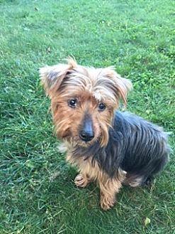 Yorkie, Yorkshire Terrier Dog for adoption in N. Babylon, New York - Tiger