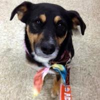 Mixed Breed (Medium) Mix Dog for adoption in Chambersburg, Pennsylvania - Lance