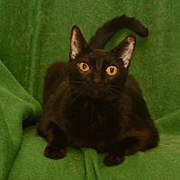 Adopt A Pet :: Lola * Front Declawed Black Beauty* - Sanford, FL