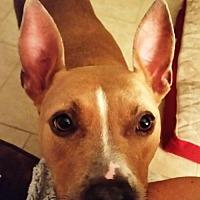 Adopt A Pet :: PEISHA - Emotional Support Animal - DeLand, FL