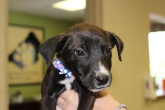 American Staffordshire Terrier Mix Dog for adoption in Cleveland, Alabama - Spiderman