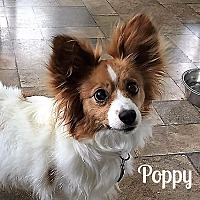 Adopt A Pet :: Poppy - Vernon, CT