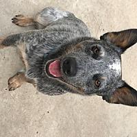 Adopt A Pet :: ACD Mo Brady - Remus, MI