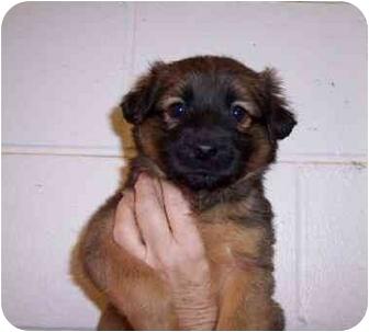 Sheltie, Shetland Sheepdog/Miniature Pinscher Mix Puppy for adoption in Ozark, Alabama - Mojo