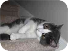 Domestic Shorthair Cat for adoption in Greenville, South Carolina - Squeeks