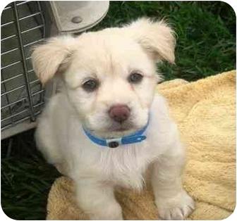 Samoyed/Keeshond Mix Puppy for adoption in El Cajon, California - Pumpkin
